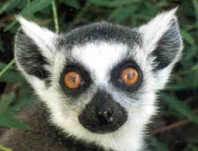 Ring-tailed lemur face