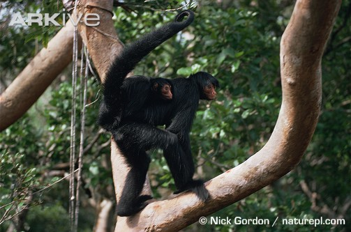 Black spider monkey carrying a baby
