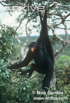Black spider monkey hanging from tree