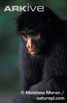 Black spider monkey profile