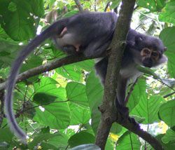 White-naped mangabey